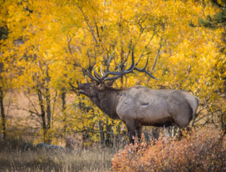 Elk in the fall